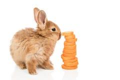 在一棵红萝卜附近的兔子在白色 库存照片