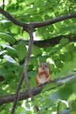 在一棵绿色树的分支的红松鼠 免版税库存图片