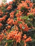 在一棵绿色树的橙色花在特拉维夫,以色列 免版税库存图片