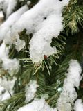 在一棵绿色树的熔化的雪 免版税库存照片
