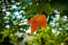 在一棵绿色槭树的一片橙色叶子 库存图片