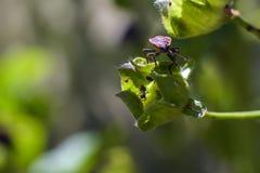 在一棵绿色花蕾顶部的红橙色黑小的臭虫有里面蚂蚁的 免版税库存图片