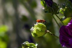 在一棵绿色花蕾顶部的红橙色黑小的臭虫 免版税库存图片