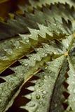 在一棵美丽的蕨植物的叶子的雨珠 免版税库存图片
