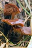 在一棵老切好的树的蘑菇 库存图片