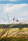 在一棵老树的分支的两只乌鸦 图库摄影