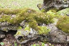 在一棵老树的吠声的青苔 免版税库存照片