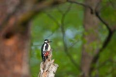 在一棵老树的巨大被察觉的啄木鸟Dendrocopos主要开会 免版税库存照片
