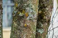 在一棵老树的青苔在冬天 免版税库存图片