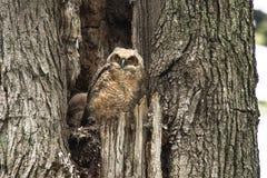 年轻在一棵老树的婴孩大角枭 库存照片