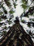 在一棵老高大的树木的详细的吠声 库存图片