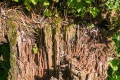在一棵腐烂的树的详细的看法在阳光下 库存照片