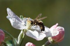 在一棵花苹果树的蜂在春天庭院里 图库摄影