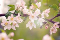 在一棵苹果树的分支的桃红色花在春天在雨以后 库存图片