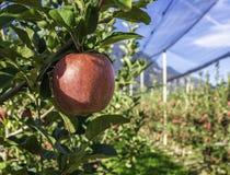 在一棵苹果树的成熟鸡尾酒苹果品种在波尔扎诺自治省在意大利 苹果庭院地面收获成熟时间结构树 免版税库存图片
