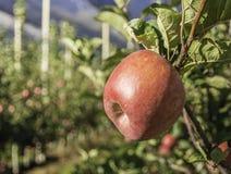 在一棵苹果树的成熟鸡尾酒苹果品种在波尔扎诺自治省在意大利 苹果庭院地面收获成熟时间结构树 库存照片