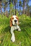 在一棵草的小猎犬在森林里 免版税库存照片