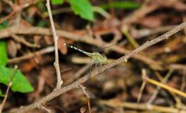 在一棵草的浅绿色的蜻蜓在棕色植物 库存照片