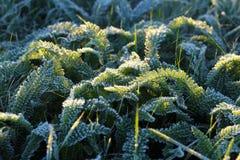 在一棵草的第一霜在西伯利亚 免版税图库摄影