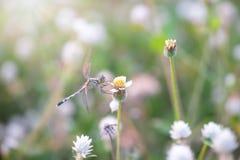 在一棵草的蜻蜓在早上和阳光 昆虫 敌意 库存图片