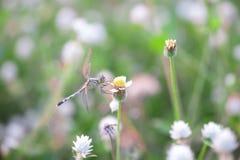 在一棵草的蜻蜓早晨 昆虫 敌意 免版税库存图片