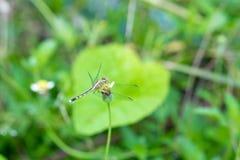 在一棵草的蜻蜓早晨 昆虫 敌意 免版税图库摄影