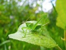 在一棵草的绿色蚂蚱与蜇 免版税库存照片