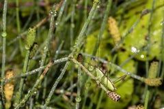 在一棵草的绿色蚂蚱与露水 库存图片