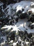 在一棵蓝色云杉的雪 图库摄影