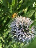 在一棵蓝蓟的黄蜂 免版税库存图片