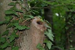 在一棵被切断的树的孔在森林里 库存图片