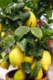 在一棵装饰树的成熟柠檬 图库摄影