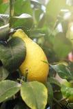 在一棵装饰树的成熟柠檬 免版税库存照片