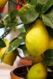 在一棵装饰树的成熟柠檬 库存照片