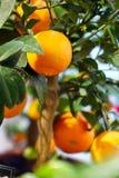 在一棵装饰树的成熟蜜桔 库存图片