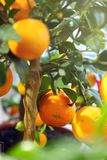 在一棵装饰树的成熟蜜桔 免版税库存照片