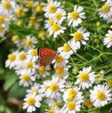 在一棵野生春黄菊的蝴蝶在一个领域开花在一个晴天 浅深度的域 库存图片