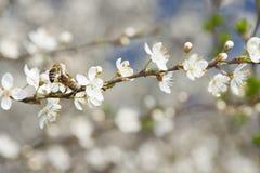在一棵野黑樱桃花的Twoo蜂 库存图片