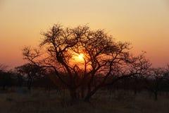 在一棵金合欢树后的日落在非洲灌木 库存图片