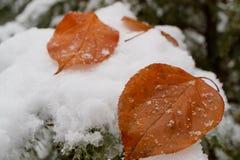 在一棵针叶树落的白色雪的两片黄色叶子,杉木的分支的叶子 库存图片