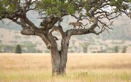 在一棵香肠树的一头非洲豹子在塞伦盖蒂,坦桑尼亚 库存图片