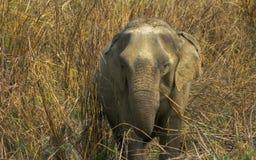 在一棵高草的小的大象 免版税库存图片