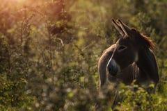 在一棵高草的驴 免版税图库摄影