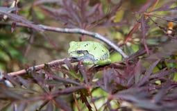 在一棵鸡爪枫树的一只灰色绿色雨蛙 免版税库存图片