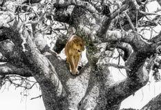 在一棵黑白树的色的狮子 库存照片