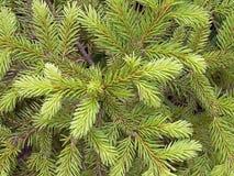 在一棵年轻树的分支的针在乡下 免版税库存照片