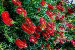 在一棵洗瓶刷树的明亮的红色开花在得克萨斯 免版税库存照片