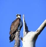 在一棵死的树栖息的庄严白鹭的羽毛 免版税库存图片