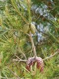 在一棵绿色杉树的年轻锥体 库存图片