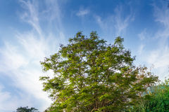 在一棵绿色树的上面的美丽的蓝天 图库摄影